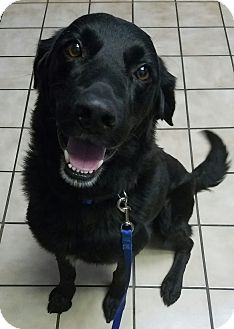 Flat-Coated Retriever/Retriever (Unknown Type) Mix Dog for adoption in Manchester, New Hampshire - Tripp