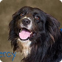 Adopt A Pet :: Percy - Somerset, PA