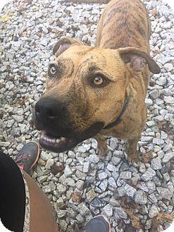 Labrador Retriever/Boxer Mix Dog for adoption in Southbury, Connecticut - Finchie