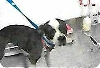 Boston Terrier Mix Dog for adoption in Concord, California - Pippi