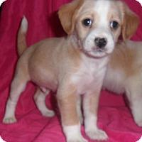 Adopt A Pet :: Bundle of Jack Russell - El Cajon, CA