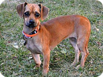 Dachshund Mix Dog for adoption in West Valley, Utah - ENDORA