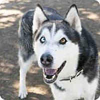 Siberian Husky Mix Dog for adoption in Agoura, California - Charlie