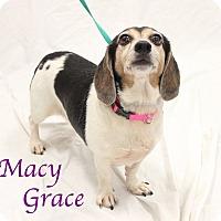 Adopt A Pet :: Macy Grace - Bradenton, FL