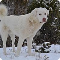 Adopt A Pet :: Kanut - Ridgway, CO