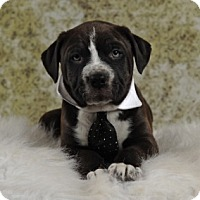 Adopt A Pet :: Slinkie's Teddy aka Darth - Las Vegas, NV