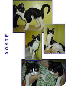 Domestic Shorthair Kitten for adoption in Bunnell, Florida - Rosie