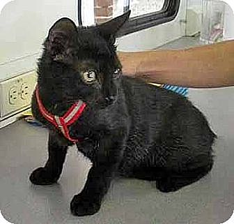 Domestic Shorthair Cat for adoption in Brooklyn, New York - Midnight