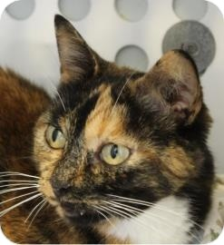 Domestic Shorthair Cat for adoption in Ithaca, New York - Minna Mary