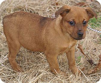 Dog Ready For Adoption Boxer Rottweiler Mix Dog For Dog | Dog Breeds ...