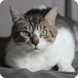 Domestic Shorthair Cat for adoption in Verdun, Quebec - Romy