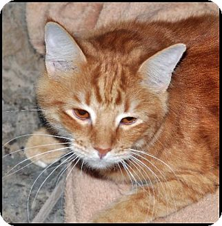 Domestic Mediumhair Cat for adoption in Alamogordo, New Mexico - SUGAR
