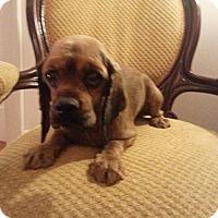 Adopt A Pet :: Brandy - Edgewater, NJ