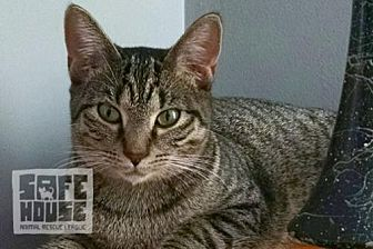 Domestic Shorthair Cat for adoption in Dalzell, Illinois - Ivy