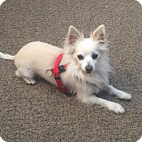 Adopt A Pet :: Donner - Las Vegas, NV