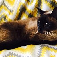 Adopt A Pet :: Andorra - Addison, IL