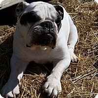 English Bulldog Dog for adoption in Chicago, Illinois - Bella