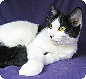 Domestic Shorthair Cat for adoption in Herndon, Virginia - Lyric