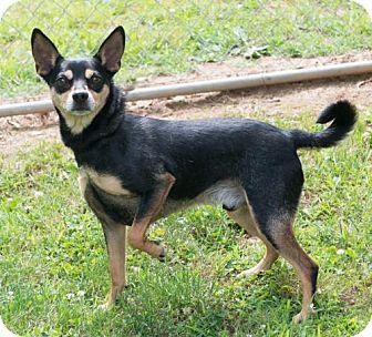 Chihuahua/Miniature Pinscher Mix Dog for adoption in Versailles, Kentucky - Ace