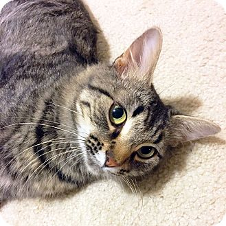 Domestic Mediumhair Cat for adoption in Arlington/Ft Worth, Texas - Julia