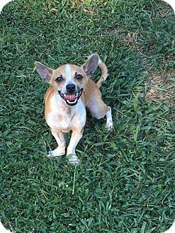 Chihuahua Puppy for adoption in Ardmore, Oklahoma - Nano