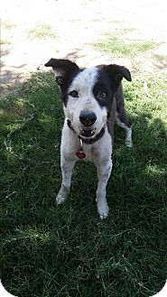Border Collie Dog for adoption in Bakersfield, California - Jackson