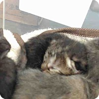 Domestic Shorthair Kitten for adoption in San Bernardino, California - URGENT on 9/14 San Bernardino