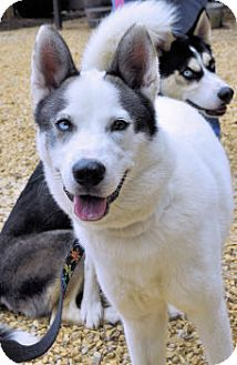 Siberian Husky Dog for adoption in Bowling Green, Virginia - Gustaf