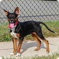 Adopt A Pet :: Amaryllis - Bridgewater, NJ