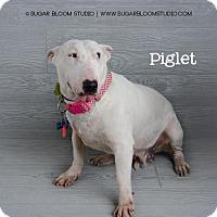 Bull Terrier Dog for adoption in Denver, Colorado - Piglet