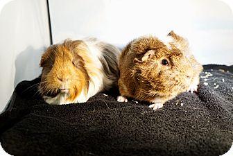Guinea Pig for adoption in Aurora, Colorado - Brannigan & Sailor