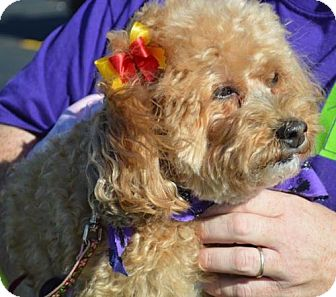 Toy Poodle Dog for adoption in Livonia, Michigan - Frannie