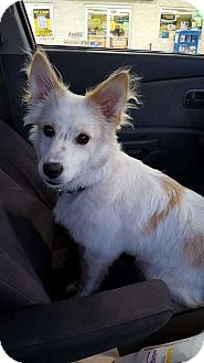 Eskimo Dog Mix Puppy for adoption in Lyndhurst, New Jersey - Tucker