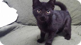 Domestic Shorthair Kitten for adoption in Hawk Point, Missouri - Sally