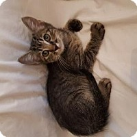 Domestic Shorthair Kitten for adoption in San Tan Valley, Arizona - Turkey