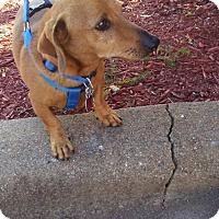 Adopt A Pet :: Elmo - Orangeburg, SC