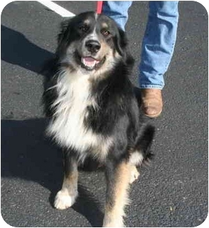 Bernese Mountain Dog Border Collie Mix Dog for adoption in Westport    Bernese Mountain Dog Collie Mix