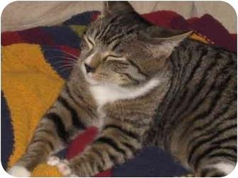 Domestic Shorthair Kitten for adoption in Davis, California - Woogie
