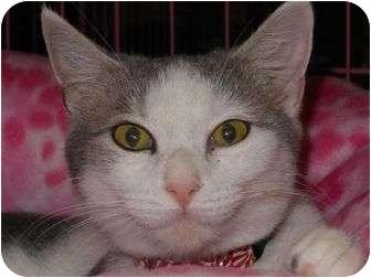 Domestic Shorthair Cat for adoption in Chesapeake, Virginia - Debbie