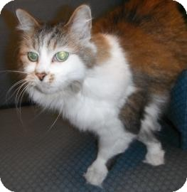 Domestic Longhair Cat for adoption in Jackson, Michigan - Bella
