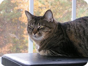 Domestic Shorthair Cat for adoption in Monroe, Georgia - Carley
