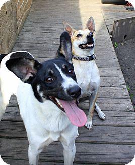 Terrier (Unknown Type, Medium)/Border Collie Mix Dog for adoption in Albert Lea, Minnesota - Cory