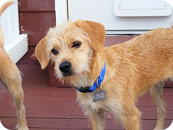 Terrier (Unknown Type, Small) Mix Puppy for adoption in Norwalk, Connecticut - Kayla