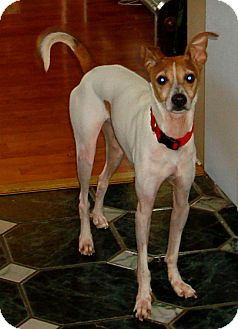 greyhound terrier mix fletcher adopted dog indianapolis in italian 6438