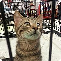 Adopt A Pet :: Mischief - Edmond, OK