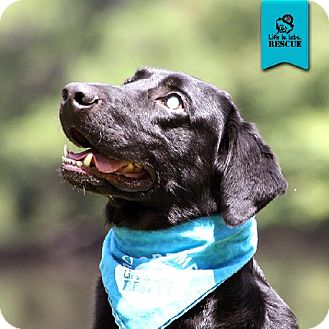 Labrador Retriever Dog for adoption in Temple, Georgia - Hank (blind)