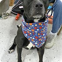 Adopt A Pet :: Dolce - Schaumburg, IL