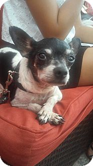 Chihuahua/Terrier (Unknown Type, Medium) Mix Dog for adoption in S. Pasedena, Florida - Dobby