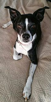 Boston Terrier/Chihuahua Mix Dog for adoption in Pt. Richmond, California - MOLLY