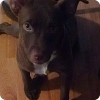 Adopt A Pet :: Alexis- located in NY - Allentown, PA